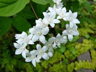ウツギ開花.JPG